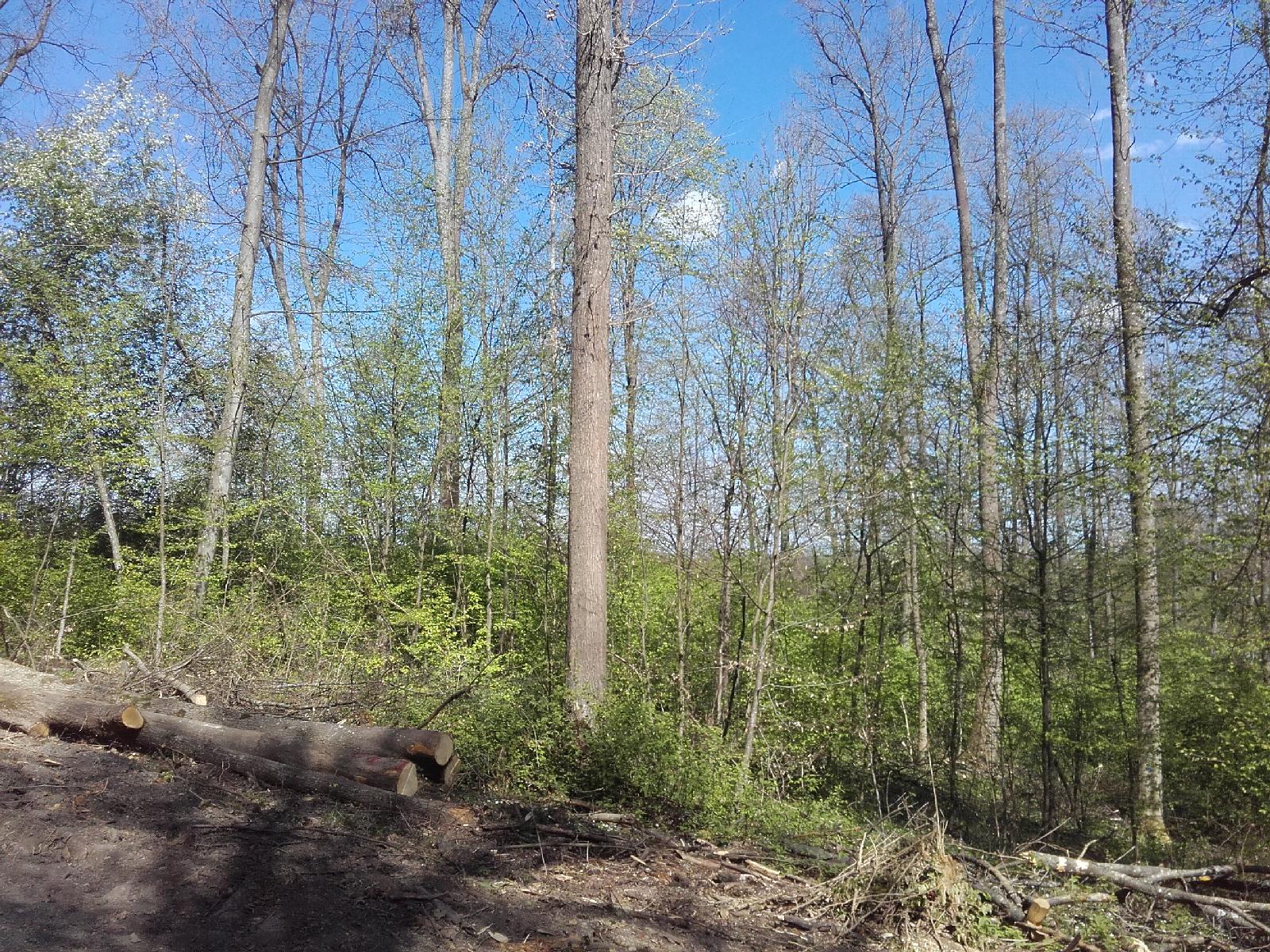 Altholz mit Naturverjüngung