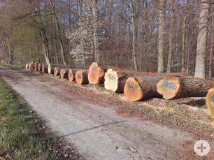 Furniereichen aus dem Gemeindewald